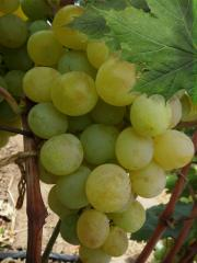Grapes shanks Spirit, wholesale