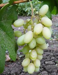 Grapes shanks Princess Olga, wholesale