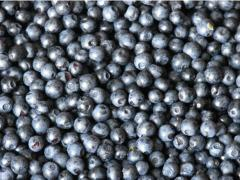 The bilberry frozen
