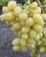 Саженцы винограда (посадочная материал)