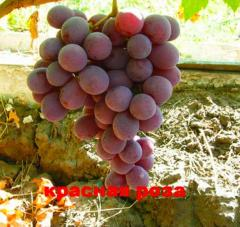 Grapes shanks Red rose, wholesale