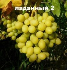Shanks of Ladanum-2 grapes (Tala x K.Luch),