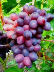 Grapes shanks Lyolik, wholesale