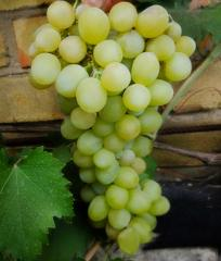 Grapes shanks Darling, wholesale