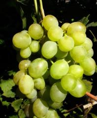 Grapes shanks Lord, wholesale