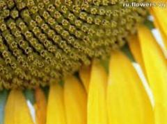 Sunflower sowing Toledo