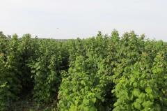 Саджанці малини Поляна