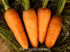 Carrots seeds Shantene's grade skvirsky.