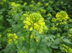 Mustard white seeds.