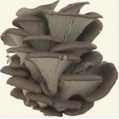 Вешенки. Свежий гриб вешенка объемом до