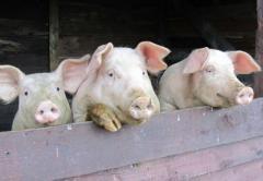 Свині у живій вазі (м'ясна порода), купити