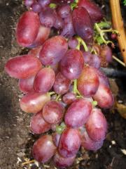 Grapes saplings Master
