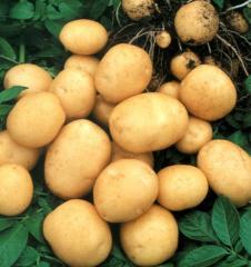 Potatoes for export, Ukraine