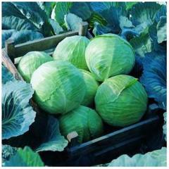 Cabbage grade Lennox