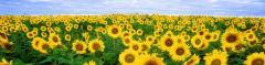 Насіння скоростиглого соняшника - ультра ранні сорти