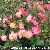Розы миниатюрные и почвопокровные