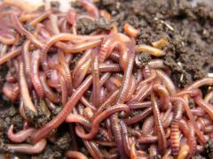 Red Californian worm, uterine livestock.