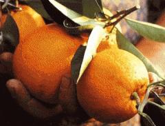 Апельсины Украина, оптом, купить