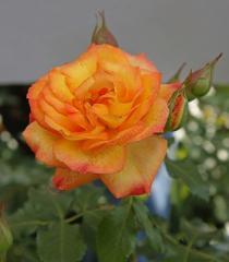 Роза Полная Луна (Full Moon)