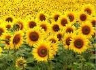 Sunflower Pancake week. Sunflower for poultry feed