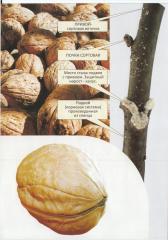 Sadzonki orzecha włoskiego