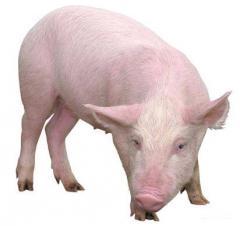 Кров свиняча