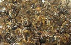 Bee, bee subpestilence I will buy a subpestilence,