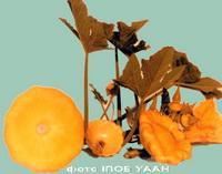 Семена патисона Оранжевый