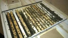 Карпатська порода пчеломатка