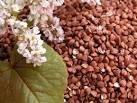 Семена гречки для посева Антария, Син 3\2 1р.