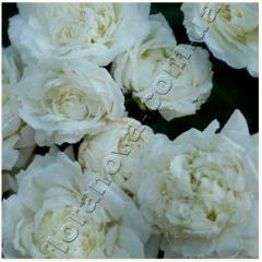 Саженцы роз. Денис Кассегрен