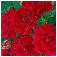 Саженцы роз. Ред Мин