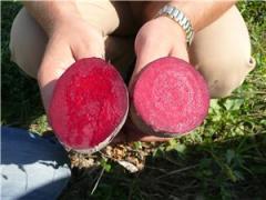 Семена свеклы столовой Болтарди F1