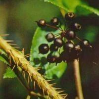 Экстракт Элеутерококка для пищевой промышленн