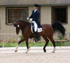 Gelding of Golshtinsky breed