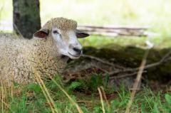 БВМК Шені Шип 10% вівці, кози