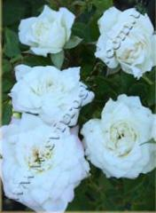 Роза миниатюрная Литл Вайт