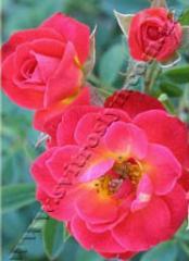 Роза миниатюрная Литл Флирт