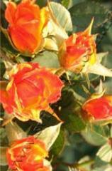 Роза миниатюрная Колибри