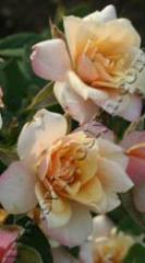 Роза Патио Ребека