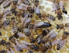 Пчелы, пчеломатки карпатка