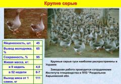 Гуси большие серые украинские, от производителя