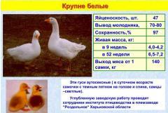 Гуси большие белые украинские, Крупные белые гуси