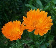 Calendula medicinal (a marigold medicinal),