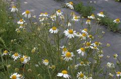 The camomile pharmaceutical, medicinal herbs from
