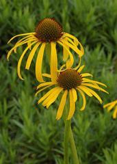 Эхинацея,  травы лекарственные от производите