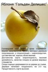 Яблоня Голден Делишес, саженец крупномер 4-х