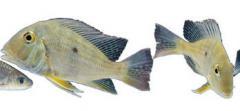 Соевый шрот для рыбоводства. Комбикорма для рыбы.