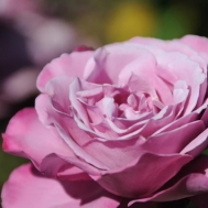 Роза плетистая Amethyste (Аметист). Саженцы