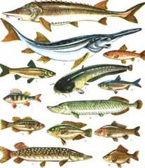 Рыбы семейства осетровых